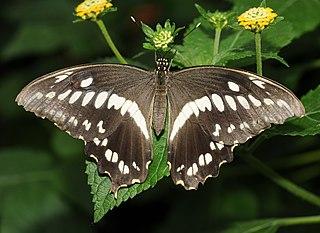 Sưu tập Bộ cánh vẩy 2 - Page 63 320px-Papilio_constantinus