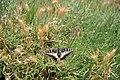 Papilio hospiton 0856.jpg