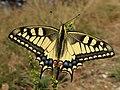 Papilio machaon (16417548915).jpg