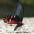 Papilio thaiwanus male 20140816.jpg