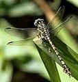 Paragomphus cognatus 002183-1.jpg