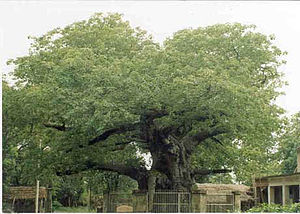 Barabanki district - Parijat tree at Kintoor, Barabanki