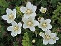 Parnassia palustris (32006260997).jpg