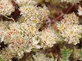 Paronychia argentea (flowers)-cloned.jpg