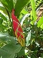 Parrots'heliconia Heliconia rostrata Jardin botanique de Peradeniya Kandy.JPG