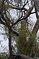 Parsonsia eucalyptophylla DSC 5060 (27686868313).jpg
