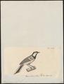 Parus cinereus - 1700-1880 - Print - Iconographia Zoologica - Special Collections University of Amsterdam - UBA01 IZ16100113.tif