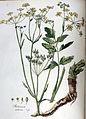 Pastinaca sativa — Flora Batava — Volume v5.jpg