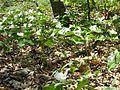 Patch of Large-flowered Trillium (Trillium grandiflorum) - Flickr - Jay Sturner.jpg