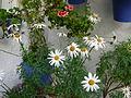 Patios of Cordoba - flowers 4.JPG