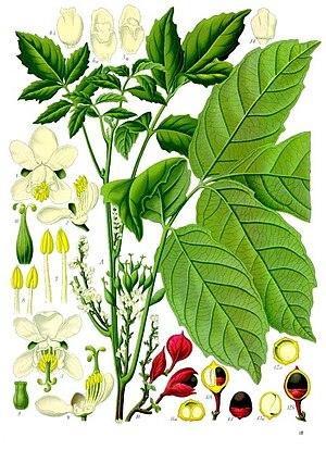 Guarana - Image: Paullinia cupana Köhler–s Medizinal Pflanzen 234