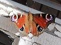 Peacock butterfly (ULSM).jpg