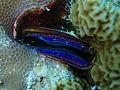 Pedum spondyloideum Maldives.JPG