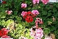 Pelargonium hortorum 1zz.jpg