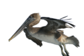 Pelecanus occidentalis and fishing hook 2.png