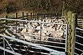 Penned sheep at Milkieston Farm - geograph.org.uk - 1196951.jpg