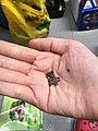 Pennywort seeds.jpg