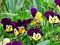 Pensamiento (Viola tricolor) - Flickr - Alejandro Bayer (1).jpg