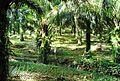 Perkebunan kelapa sawit milik rakyat (61).JPG