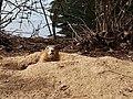 Perrito de las praderas (6818477442).jpg