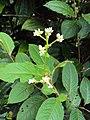 Persicaria chinensis -Chinese smartweed 01.JPG