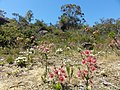 Perth Wildflowers - panoramio.jpg