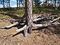 Petäjävesi - tree root.jpg