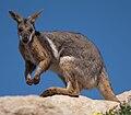 Petrogale xanthopus -Monarto Zoo, South Australia-8a.jpg