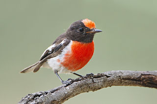 Red-capped robin A small passerine bird native to Australia