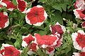 Petunia at lalbagh 7401.JPG