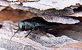 Phaenops cyanea front.jpg