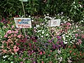 Phlox from Lalbagh flower show Aug 2013 8172.JPG