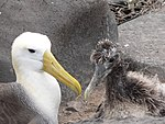 Phoebastria irrorata -Waved Albatross adult and chick.jpg