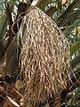 Phoenix canariensis4.jpg