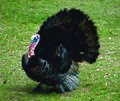 Photo of the Week - Wild Turkey at Wallkill National Wildlife Refuge (4131096505).jpg