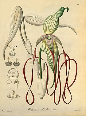 Phragmipedium lindenii (as Uropedium lindenii) - Xenia vol 1 pl 15 (1858).jpg