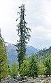 Picea smithiana - Solang Valley - Kullu 2014-05-10 2593.jpg