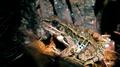 Pickerel Frog 2 (6190728290).png