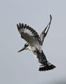 Pied Kingfisher, Ceryle rudis at Pilanesberg National Park, South Africa (15988982351).jpg