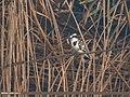 Pied Kingfisher (Ceryle rudis) (31827372394).jpg