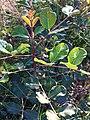 PikiWiki Israel 29719 Carob Branch.JPG