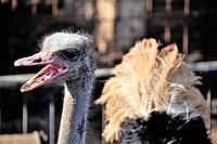 PikiWiki Israel 53299 ostrich.jpg