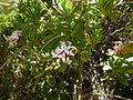 Pimelea longifolia 11.JPG