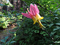 Pink Columbine (14891555999).jpg