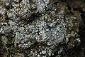 Pink Earth Lichen - Dibaeis baeomyces (44470664091).jpg