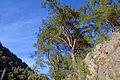 Pinus brutia - Turkish pine 06.JPG