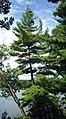 Pinus strobus Awenda.jpg