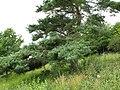 Pinus sylvestris (2144975142).jpg