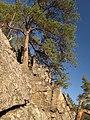 Pinus sylvestris on gneiss rocks near Vltava river, Southern Bohemia 2.jpg