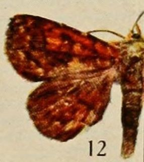 <i>Phlogochroa rubida</i> species of insect